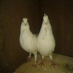 کبوتر خیارج