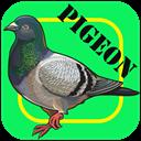 پرورش کبوتر (حرفه ای)